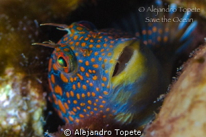Blenny smile, Tamiahua Veracruz by Alejandro Topete 